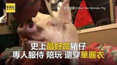 最好命豬仔!專人服侍陪玩 還擁美衣裳 #內褲穿反編:好羨慕啊!人森真是爽歪歪~  影片授權: Esther the Wonder Pig #迷你豬 #豬 #90