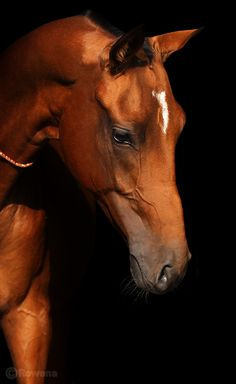 Akhal-Teke The bay stallion photoshped in various ways, as in white gold,black light bay. By Photos by Rowena Most Beautiful Animals, Beautiful Horses, Beautiful Creatures, Akhal Teke Horses, Black Background Photography, All About Horses, Horse Pictures, Horse Breeds, Horse Art