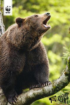 Roooar! Die EU-Kommission will die Naturschutzgesetze aufweichen. Fordert Umweltministerin Hendricks auf, gemeinsam mit ihren europ. Kollegen alles dafür zu tun, um die Pläne zu stoppen. Macht jetzt mit! vía @wwf_deutschland #NatureAlert