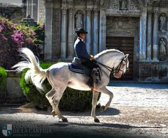 Carthusian Stallion from Yeguada de la cartuja in front of the Carthusian Monastery. Caballo Cartujano Pura raza Española. Pure Spanish Blood Carthusian.