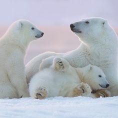"""Polar Bear Family at Sunset"" - photo by Tin Man / 500px"