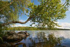 Erikoinen puu järven rannassa - Aulanko Hämeenlinna erikoinen järvi järvimaisema kasvi kesä kesäinen kirkas kivi kivikko lehtipuu luonto maisema puu ranta tunnelmallinen tyyni vesi vesistö Peaceful Places, Beautiful Places, Water Reflections, Nature Reserve, Nature Pictures, Natural Beauty, Summertime, Nature Photography, Scenery