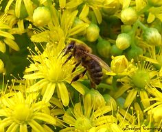 Bee drinking nectar from Aeonium Gomerense flower Feasting Bee I was observing the layers of flowers, within a newly headed rosette bloom, when I c… Rosettes, Bee, Bloom, Drinking, Flowers, Plants, Poetry, Beautiful, Honey Bees
