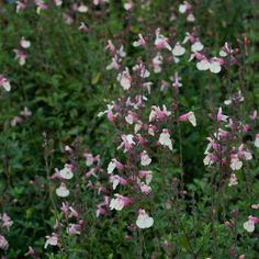 Sauge - Salvia jamensis Sierra San Antonio