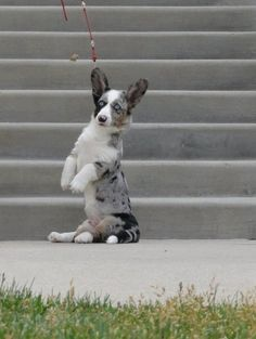 Corgis can also sit really cool. Like this, | 108 Reasons Why Corgis Really Are That Great
