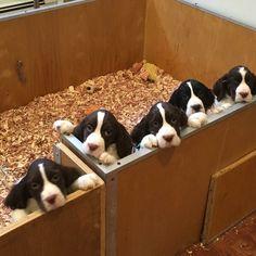 Springer Spaniel Puppies - Seaview Springers