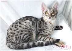 TINSEL F3 C SILVER SPOTTED SAVANNAH GIRL | Bingley, West Yorkshire | Pets4Homes