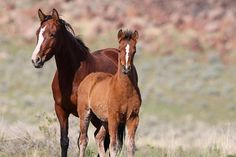 Amazing Wild Sorrel Mare and Chestnut Mustang Foal. Foal Sees Something in the Distance.