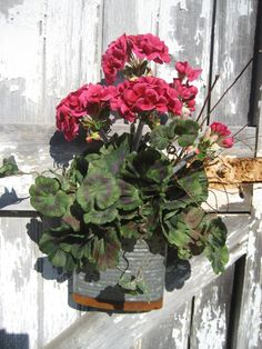 Cerisely Bright Geraniums in Flattened Pail by FireflyGardensByPam