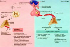 Endocrine System - mineralcorticoid (Aldosterone) causes Na and H2O retention; glucocorticoid (-cortisone) causes metabolism leading to increased blood glucose
