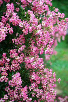 pink beauties by Sky-Genta, via Flickr  June 2011