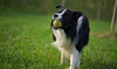 Border Collie Dog Breed Information Collie Breeds, Collie Dog, Medium Sized Dogs, Medium Dogs, Most Popular Dog Names, Socializing Dogs, Labrador Retriever, Big Dog Breeds, Family Dogs