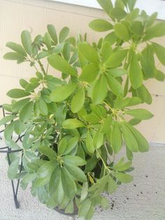 Identifying Common House Plants house plants identifypic | plant identification: lynzy143