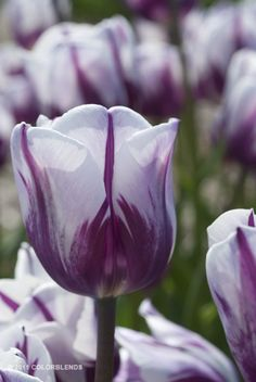 A garden photograph of the spring flowering Tulip named Rems Favourite.