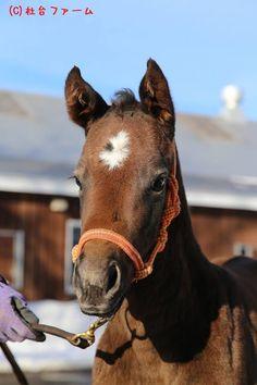 2016-02-03 2月3日にカレンチャンとロードカナロアの仔が生まれました。昨年に引き続き毛色はお母さん似の芦毛、今年は牝馬でした。