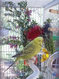 Pet Bird Cage Ideas Parakeets Pictures 50 Ideas For 2019 – Anima Care Parakeet Care, Budgie Parakeet, Budgie Cages, Cockatiel, Cute Birds, Pretty Birds, Beautiful Birds, Parakeets, Nature