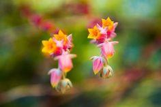 Orange and pink cactus flowers