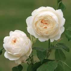 Claire Austen rose. Disease resistant creamy white and vanilla scent