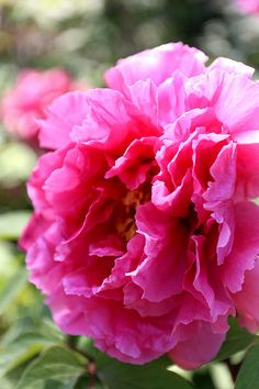 Pink Peony.. truly one of my all time favourite flowers