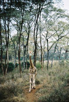 A beautiful young Masai giraffe spotted as we made our way through Kenya. Masai Giraffe, Tread Lightly, Kenya, Sustainability, This Is Us, Trips, African, Animals, Beautiful