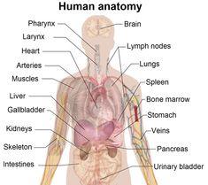 48 best the human body images on pinterest nurses nursing and free diagrams human body human body diagram labeled organs human body diagram labeled organs ccuart Choice Image