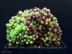 Monstrose Mammillaria bocasana