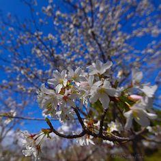 【saphireblack】さんのInstagramをピンしています。 《I love cherry blossoms. #flowers #cherryblossoms  #votanical #landscape #imagineglobe #travelingjapan #japan #sizuoka #nikon #kcalberihpas》