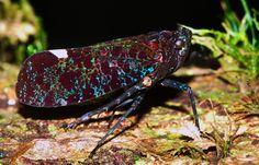 Fulgorid Hopper (Penthicodes sp.)
