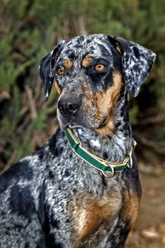 Catahoula leopard dog is the only surviving dog to have been bred by Native Americans. A partial list of his supposed ancestors includes the Mexican Xoloitzculntli, the Peruvian Inca Orchid, the American dingo, and the red wolf.