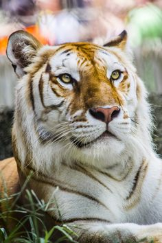 Eyes of the Golden Tiger