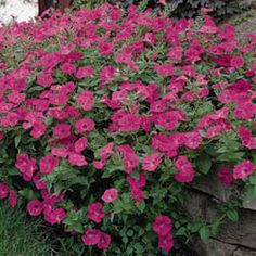 Photo of Petunia Tidal Wave Hot Pink F1 Pelleted, Tidal Wave Series F1 I started these from seeds indoors in January & transplanted outdoors in April and they bloomed prolific thru November and spread and grew like a bush just as advertised. Buying more this year and free shipping for Black Friday!