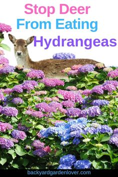 To Stop Deer From Eating Hydrangeas (Other Plants Too) How to stop deer from eating hydrangeasHow to stop deer from eating hydrangeas 7 Gorgeous Must Have Hardy Perennials for the Shade Garden Garlic Clips Deer Repellent Deer Resistant Landscaping, Deer Resistant Garden, Deer Resistant Perennials, Hardy Perennials, Hydrangea Shrub, Hydrangea Not Blooming, Hydrangea Garden, Hydrangeas, Deer Resistant Flowers