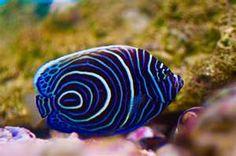 Emperor Angel ~ saltwater fish