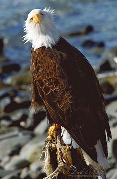 Bald Eagle in Sitka, Alaska