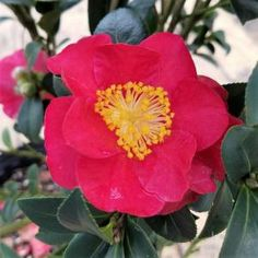 in. Pot - Yuletide Camellia(Sasanqua) - Red Blooming Evergreen Shrub, Live - The Home Depot Landscaping Shrubs, Landscaping Design, Spring Hill Nursery, Foundation Planting, How To Attract Birds, Evergreen Shrubs, Garden Soil, Garden Shrubs, Gardens