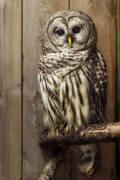 Ecomuseum - Barred owl by Patrick Pilon on 500px