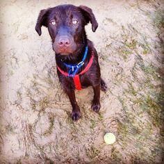 Chocolate Labrador Frank, Dog of pet parent Carla | Pawshake