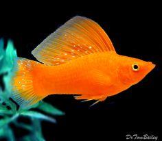 sailfin molly | premium rare premium quality male tangerine sailfin molly size 2 to 2 ...