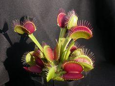 Dionaea muscipula b52 - Venus Flytrap