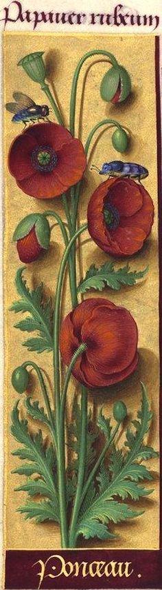 Ponceau - Papaver rubeum (Papaver Rhœas L. = coquelicot) -- Grandes Heures d'Anne de Bretagne, BNF, Ms Latin 9474, 1503-1508, f°98v