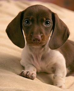 Dachshund pupster