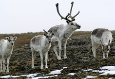 Peary Caribou (Rangifer tarandus pearyi) is a caribou subspecies found in the high Arctic islands of Canada's Nunavut and Northwest territories. They are the smallest of the North American caribou, with the females weighing an average of 132 lbs. and the males 243 lbs.