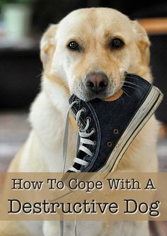 Find out how to cope with a destructive dog!