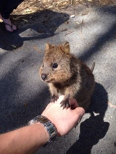 And best of all, quokkas just want to be your BFF! | 17 Reasons Why 2015 Will Be The Year Of The Quokka