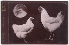 Huff, Untitled [Chickens], n.d.; gelatin silver print, 4 in. x 5 1/2 in. (10.16 cm x 13.97 cm); Collection SFMOMA, Gift of Gordon L. Bennett