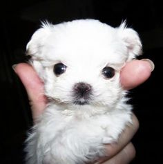 free-ads.eu Dogs - Puppies classifieds: Maltese Puppies Very Tiny!!! - Australia