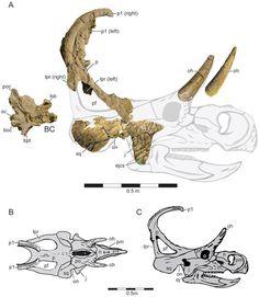 Machairoceratops fossils