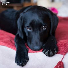 These eyes mean I would like a cuddle, a treat or a walk...but preferably all three :) #DoggyMember Harper