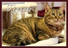 Meet Tigress, an adoptable Domestic Short Hair looking for a forever home. If you're looking for a new pet to adopt or want information on how to get involved with adoptable pets, Petfinder.com is a great resource.
