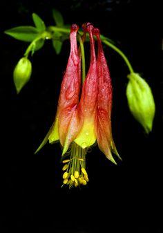 aquilegia canadensis (common name eastern red columbine, wild)